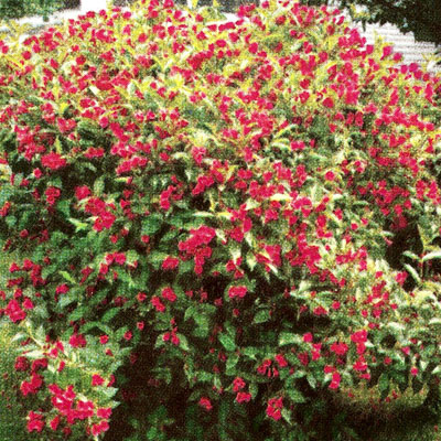 Java Red Weigela Mitchell And Sons Nursery And Garden Center